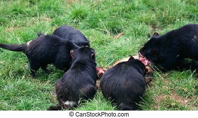 Tasmanian Devils feeding - Tasmanian devils feeding on a...