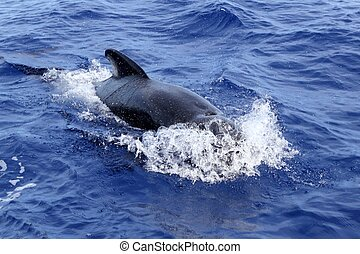 pilot whale free in open sea blue mediterranean swimming