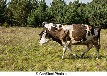 Dirty cow eating grass - Dirty cow eating fresh grass on...