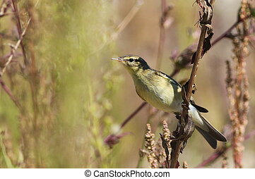 Common Chiffchaff on branch, phylloscopus collybita