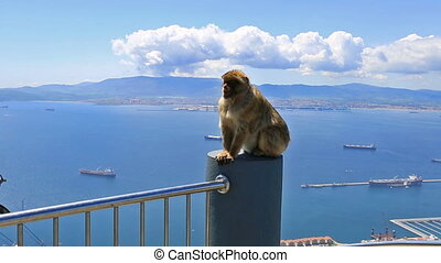 wild Gibraltar monkey - Close up of a wild macaque or...