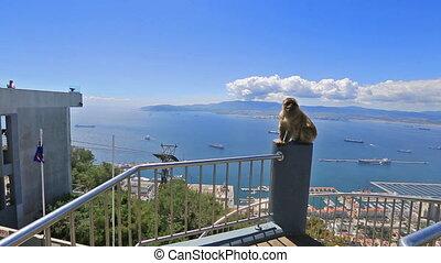 Gibraltar monkey panorama - A wild macaque or Gibraltar...