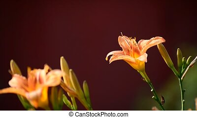 beautiful orange Hemerocallis against backlight - beautiful...