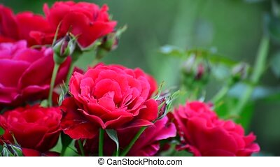 Very beautiful bright red roses on the bush - Abundantly...
