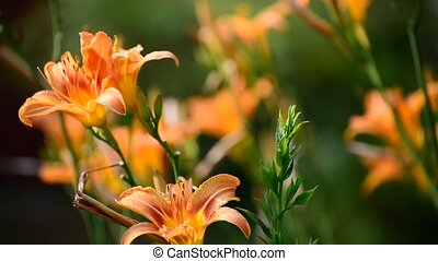Beautiful orange lily against backlight - Beautiful orange...