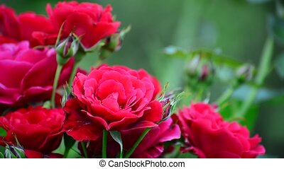 Very beautiful red roses on bush - Very beautiful red roses...