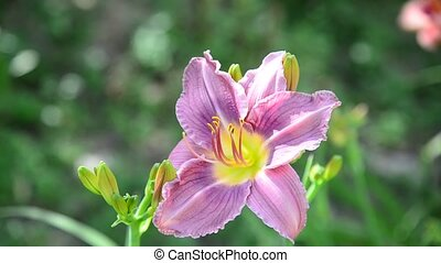 Light purple daylily in garden - Light purple daylily in the...