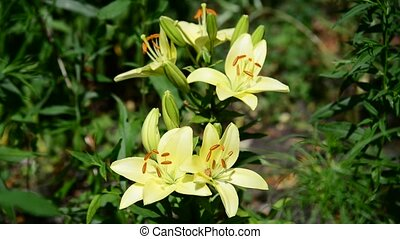 Yellow varietal large lily in flowerbed - Yellow varietal...
