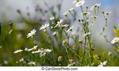 Many daisies swaying in wind