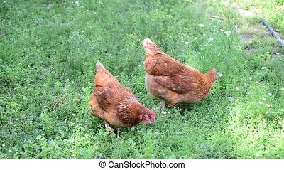 Beautiful thoroughbred chickens walking on grass - Beautiful...