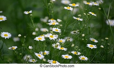 Chamomile swaying in light breeze - Chamomile field swaying...