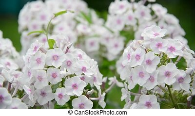 Beautiful white varietal phlox close-up - Beautiful white...