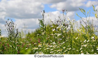 Beautiful meadow with wild daisies on sunny day, Russia -...