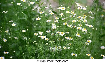 Chamomile field swaying in light breeze - Chamomile field...