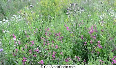 Fragment of beautiful meadow with wild flowers, Russia -...