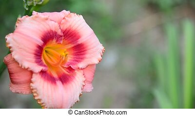Pink varietal Hemerocallis against backlight - beautiful...