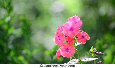 Beautiful bright pink varietal phlox close-up - Beautiful...