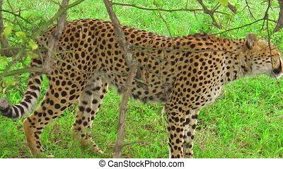 Cheetah on the grass in Serengeti National Park, Tanzania in...