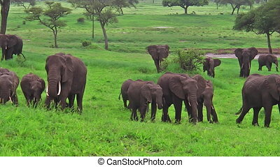 herd of African elephants - herd of elephants in Tarangire...