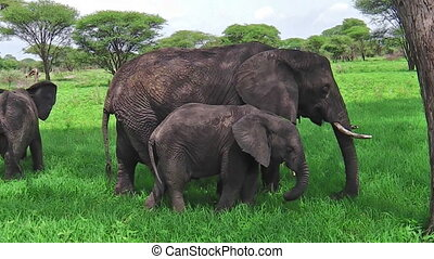 baby elephant eating - Mother and baby elephant eating grass...