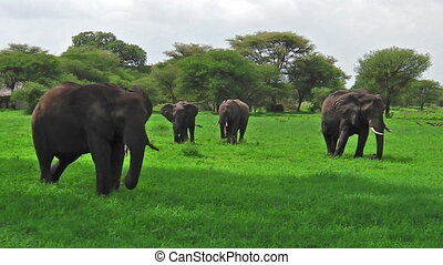 herd of elephants Tanzania - African elephants in Tarangire...