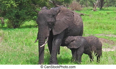 Baby elephant suckling milk,Tarangire National Park in...