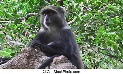 a Baboon on tree - baboon on a tree in the Ngorongoro...