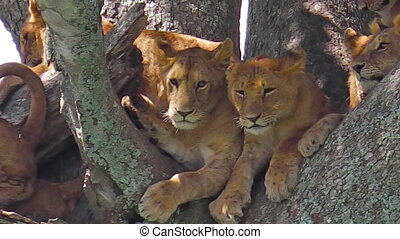 pride of lions on tree - pride of lions with puppies resting...