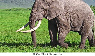 Long tusks Elephant - Biggest elephant in the world with the...