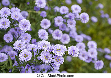 Perennial aster - Purple perennial aster flowers in green...