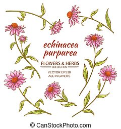echinacea purpurea vector set on white background