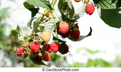 ripe raspberries on the branch - A ripe raspberries on the...