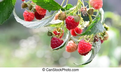 a lot of ripe raspberries on the branch
