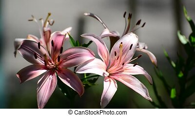Light pink lily on a sunny day - beautiful Light pink lily...