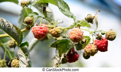 a lot of ripe raspberries on the branch - A ripe raspberries...