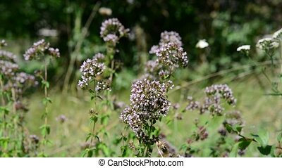 Oregano flowers and white butterflies close up - Oregano...