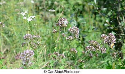 Oregano flowers and white butterflies close up