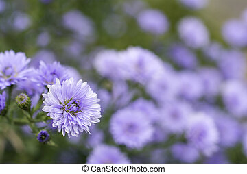 Perennial aster - Close up purple perennial aster flower in...