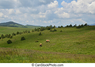 Two Cows Grazing - Two cows grazing on pasture on a spring...