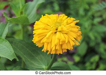 Chrysanthemum indicum Linn