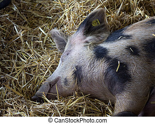 Pig sleeping on straw - Old traditional spotted pig sleeping...