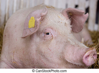 Pig in pen - Pig (Large white swine) on straw in pen with...