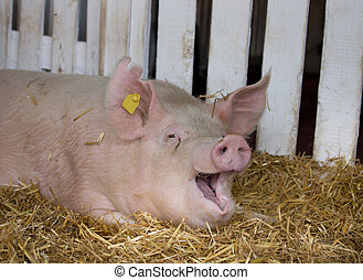 Funny pig in pen - Funny pig Large white swine on straw in...
