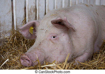 Pig in pen - Pig Large white swine on straw in pen with...