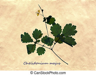 Herbarium of greater celandine - Herbarium from pressed and...