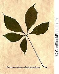 Herbarium of Virginia creeper - Herbarium from pressed and...