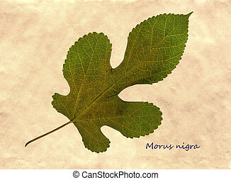 Herbarium of mulberry - Herbarium from pressed and dried...
