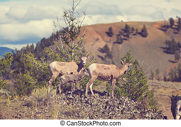 Goat in Canada - Big-Horned Sheeps, in the Banff National...