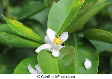 lemon flowers with green leaves