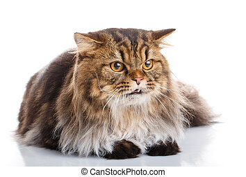 purebred cat on a white background - Striped purebred cat on...